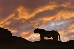 Leopard (Panthera pardus), Masai Mara Game Reserve, Kenya, East Africa Stock Photos