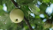 Rain drops fall on the apple and the tree leaves. Apple orchard Stock Footage