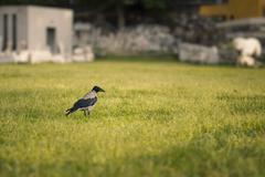 Crow on the grass. Stock Photos