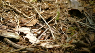 Ants moving over a forest floor Stock Footage