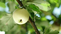 Men's hand reaches for the ripe apples on the tree and picking it Stock Footage
