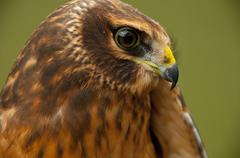 A Northern Harrier, Circus cyaneus, portrait of a juvenile Stock Photos