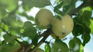 Two apples on a branch. Two ripe apples on a tree. Apple tree. Green apple Stock Footage