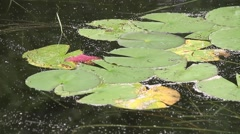 Lilly Pads floating in waves Stock Footage