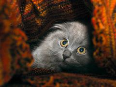 Cat hides under a knitted blanket. Cat gray, fluffy Stock Photos