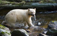 Kermode 'Spirit' Bear, ursus americanus kermodei, Great Bear Rainforest, British Stock Photos