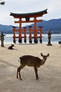 Seemingly floating on water at high tide, the Miyajima's giant torii gate is Stock Photos