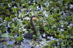 American darter ,Anhinga anhinga, or snakebird cathing fish with sharp beak Stock Photos