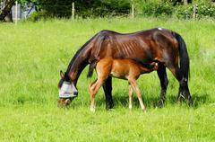 A two week old foal nurses her mother. The foal is 1/2 Standard and 1/2 Quarter Stock Photos