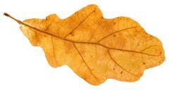 Yellow fallen leaf of oak tree isolated Stock Photos