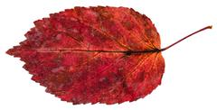 Red fallen leaf of ash-leaved maple tree isolated Stock Photos