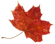 Red brown fallen leaf of maple tree isolated Stock Photos