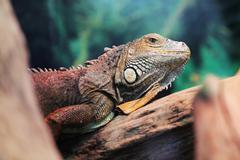 Lizard close up animal portrait Stock Photos