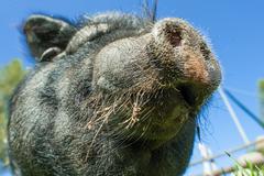 Particular of black pig's snout Stock Photos