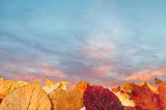 Autumn fallen leaves and blue and pink sunset sky Stock Photos