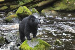 Black Bear, Ursus americanus, standing on rock, Thornton Creek, Vancouver Stock Photos