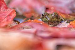 Leopard frog peeking through fallen maple leaves in Algonquin Park, Ontario. Stock Photos