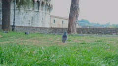 Pigeons in sarzana castle ruins in liguria italy Stock Footage