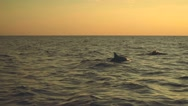 Dolphins jumping in ocean on sunrise Stock Footage