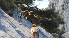Family of Barbary apes on the rock of Gibraltar Stock Footage