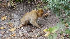 Barbary ape on the rock of Gibraltar scavenging for food Stock Footage