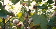 Dolly shot 4K, ripe, top quality cotton bolls on the green bushes Stock Footage