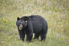 Black Bear (Ursus americanus) in ditch along highway 11, Kootenay Plains, Stock Photos