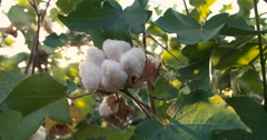 Dolly shot 4K, close-up,ripe the highest quality cotton in the green bushes, the Stock Footage