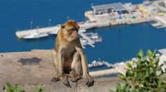 Barbary ape on the rock of Gibraltar Stock Footage