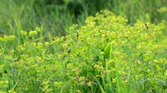 Grass meadow with wild bees, Russia Stock Footage