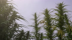 Cultivated industrial marijuana Stock Footage