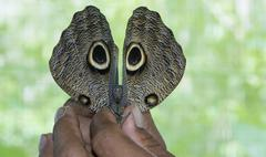 Owl butterfly, Amazon River, Peru Stock Photos