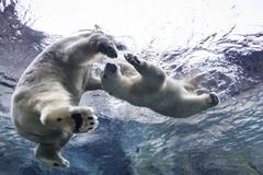 Polar Bears swimming underwater at the Journey to Churchill, Assiniboine Park Stock Photos