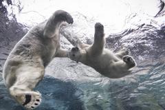 Polar Bears playing underwater at the Journey to Churchill, Assiniboine Park Stock Photos