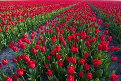 Rows of Tulips, North Holland, Netherlands Kuvituskuvat