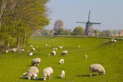 Sheep and Windmill, near Obdam, North Holland, Netherlands Stock Photos
