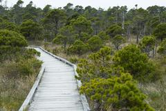 Shore Pine (Pinus contorta var. contorta), Bog Trail, Pacific Rim National Park Stock Photos