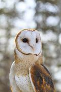 Barn Owl, tyto alba, captive, Fort Whyte, Manitoba, Canada Stock Photos