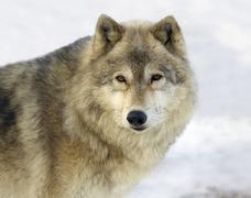Gray Wolf (Canis lupus) in Saskatoon, Saskatchewan Kuvituskuvat