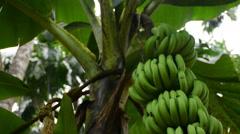 Green Banana Fruit Slider Shot Stock Footage