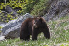 Black bear, Ursus Americanus, with a brownish fur colour, in Manning provincial Stock Photos