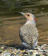 A female Yellow-shafted Northern Flicker, Colaptes auratus, drinks from a pond Stock Photos
