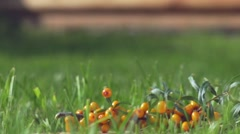 Buckthorn berries fall on the grass. Ripe buckthorn falls on the grass Stock Footage