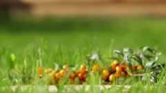 Small yellow sea-buckthorn berries. Ripe sea-buckthorn. Useful berry Stock Footage