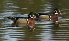 Male wood duck or Carolina duck (Aix sponsa), spring, Quetico Provincial Park, Stock Photos