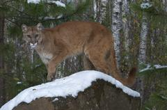 Mountain Lion/Cougar standing on snow-covered boulder in boreal forest; (Puma Kuvituskuvat