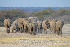African elephant (Loxodonta africana) family coming to a waterhole to drink, Kuvituskuvat