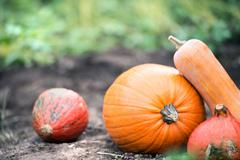 Orange pumpkins laid on the ground. Sunny autumn nature Stock Photos