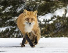 The red fox, (Vulpes vulpes), is the largest of the true foxes and the most Stock Photos