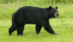 WIld American black bear (Ursus americanus) Male or Boar, near Lake Superior, Stock Photos